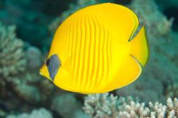 BD-150228-Ras-Mohammed-7347-Chaetodon-semilarvatus.-Cuvier.-1831-[Bluecheek-butterflyfish.-Rödahavsfjärilsfisk].jpg